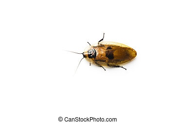 Central American giant cave cockroach. (Blaberus giganteus)