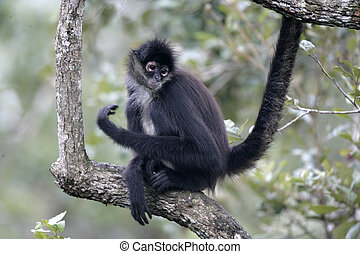 Central American Spider Monkey or Geoffroys spider monkey,...
