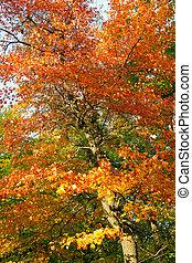 central, coloré, -, feuilles, parc, arbre, clair, automne, nyc
