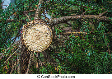 centro, taglio, exposed., colorito, anelli, albero, giovane, frescamente, natale