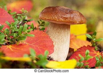 cep, fungo, in, foresta