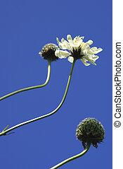 Cephalaria Flowers Against Sky