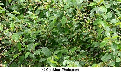 Beautiful cherry tree foliage and green unripe berries -...