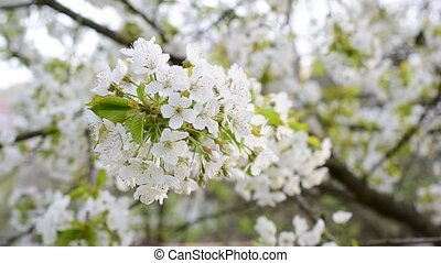 Close-up of blossoming white cherry tree flowers