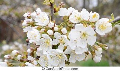 Cerasus avium. Close-up of white cherry tree blossom
