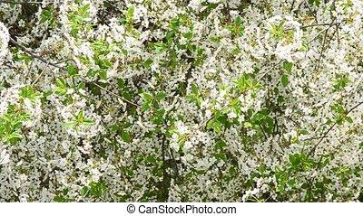 Cerasus avium. White cherry tree blossom fills the frame