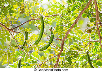 Ceratonia, commonly known as the carob tree, with pods....