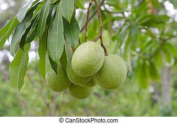 Cerbera oddloam fruit on the tree