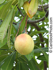 Cerbera oddloam fruit on tree