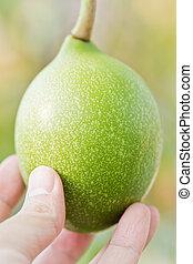 Cerbera odollam fruit