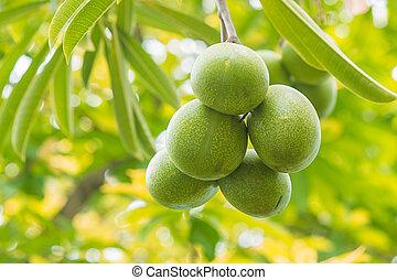 Cerbera odollam Gaertn fruit in garden