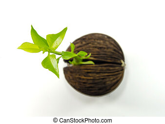 Cerbera odollam or Suicide tree fruit seed on white background.