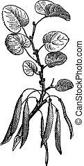 (cercis, 白, siliquastrum), judas, 隔離された, engraving., 木, 型