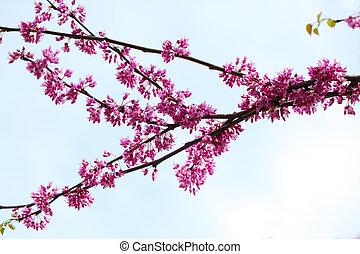 Cercis canadensis Flower
