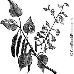 Cercis canadensis or Eastern Redbud vintage engraving -...