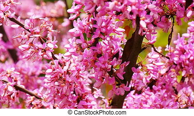 Cercis siliquastrum or Judas tree