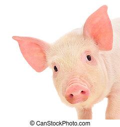 cerdo, blanco