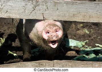 cerdo doméstico, hocico