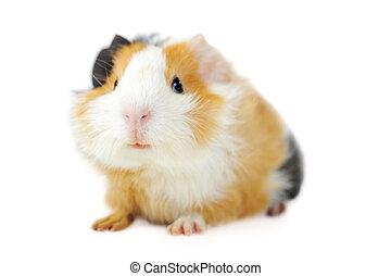 cerdo, guinea
