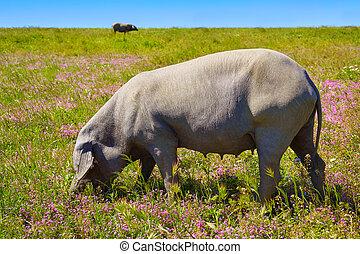 Cerdo iberico iberian pork in Dehesa Spain
