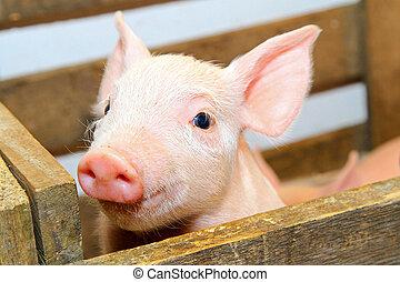 cerdo, rosa