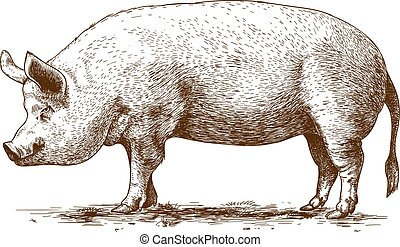 cerdo, vector, ilustración, grande
