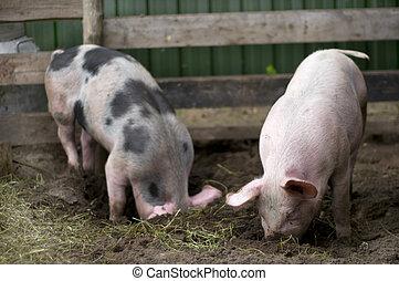 cerdos, natural