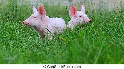 cerdos, pequeño