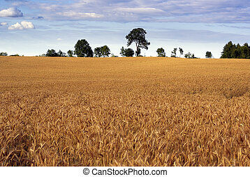 cereal, field.