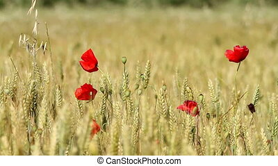 Cereal field - Mature cereal field with poppy