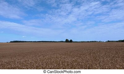 Cereal field with blue sky.Time lapse