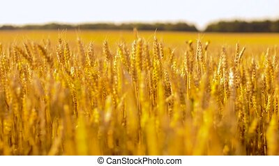 cereal field with wheat spikelets - nature, summer, harvest...