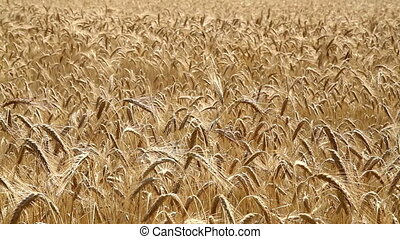 Cereal - Mature cereal field