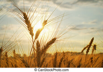 Cereal of wheat in meadow.Nature composition.