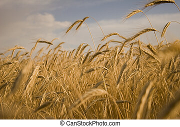 Cereal Plant - Cereal cultures are bread, a theme of an...