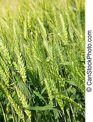 Cereal plant wheat on field