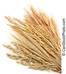 various type of cereals including wheat (triticum), paddy (oryza), barley (hordeum) and oat (avena)