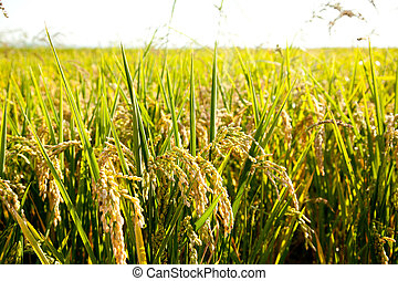 Cereal rice fields with ripe spikes closeup macro