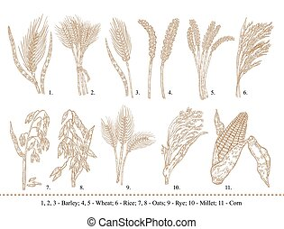 Cereal set. Hand drawn barley, wheat, rice, oats, rye, millet, corn isolated on white
