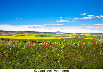 Cereal spring fields in Castilla by the way of Saint James...