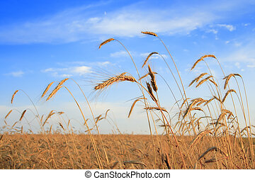 cereales, campo