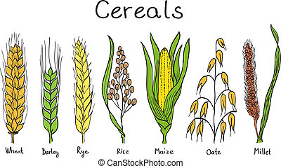 Cereals hand-drawn illustration - wheat, barley, rye, millet...