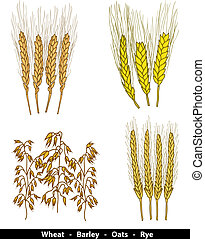 Cereals illustration - wheat, barley, oats and rye