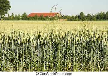 cereals plantation