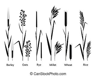 Cereals plants set. Carbohydrates sources.  Vector illustration.