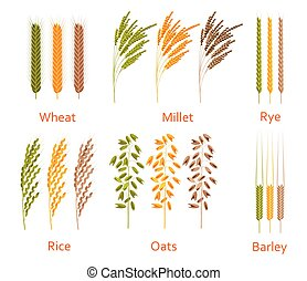 Cereals plants set. Carbohydrates sources.  Colorful vector illustration.