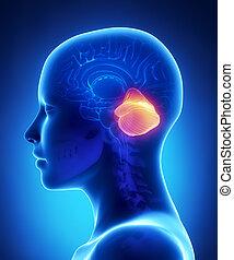 cerebellum, -, 女性, 脳, 解剖学, 横の視野