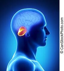 cerebellum, hersenen, deel, -, menselijk