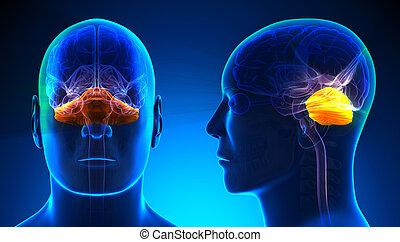 cerebelo, azul, concepto, -, anatomía, cerebro, macho