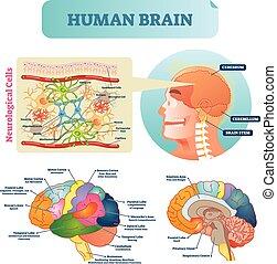 cerebelo, educacional, diagram., silueta, illustration., lóbulo, celas, médico, neurológico, cérebro, cerebrum, vetorial, córtex, esquema, stem., closeup.